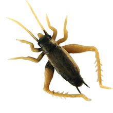 Small Brown Cricket
